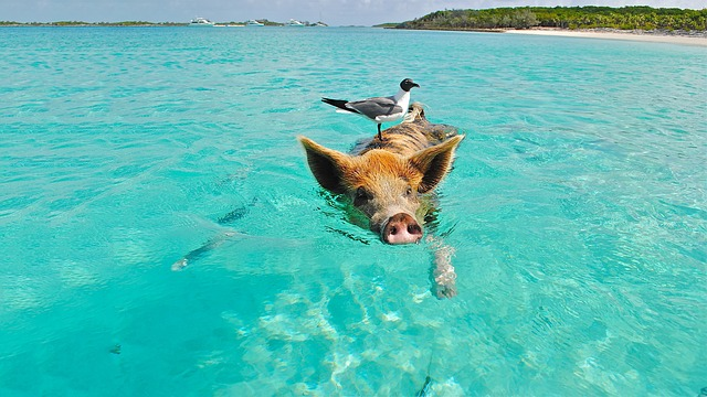 Pig Beach The Bahamas